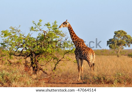 young giraffe in morning sunshine