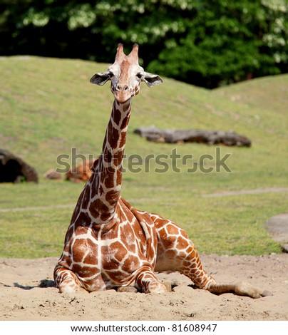 Young giraffe in  wroclaw zoo, europe, poland