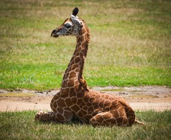 Young giraffe sitting on the grass. The tallest living terrestrial animal and the largest ruminant.
