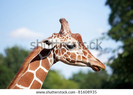 Young giraffe  with funny green leaf in snout