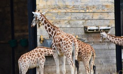 Young giraffes eating and feeding at the zoo from a trough in their cage pen habitat enclosure.
