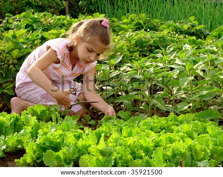 young girl cropping green lettuce from the vegetable bed