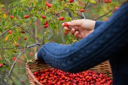 Young girl hands, picking red and ripe rosehips from the bush. The girl's basket is full of rosehips.