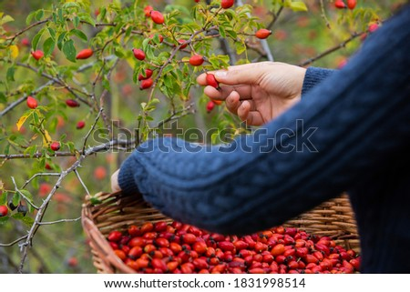 Young girl hands, picking red and ripe rosehips from the bush. The girl's basket is full of rosehips. Stock photo ©