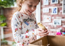 Young girl happy holding a cute fluffy yellow new baby chick adorable just hatched at home in incubator she is excited and chicken looking at the camera