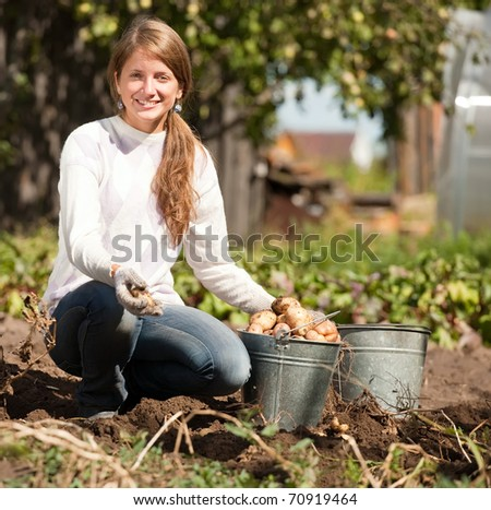 young girl is picking  potato in field