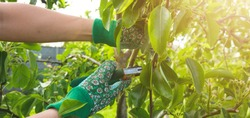 young girl unknown in a straw hat and garden gloves caters for bushes plants plants tree branches in the garden on a sunny day, the concept of gardening and farming agriculture