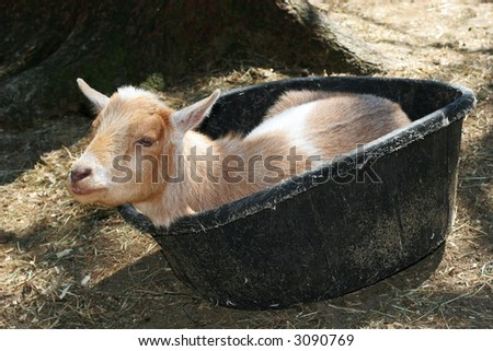 young goat resting in bucket