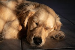 Young Golden Retriever head and face detail, sleeping contently bathed in dappled golden light. Loved pet dog, shallow depth of focus.