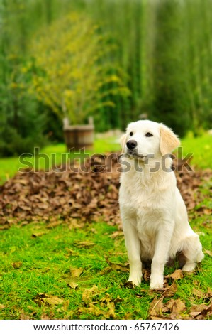 Young golden retriever house-dog sitting in the backyard.