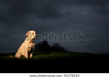 Young Golden Retriever is sitting in a ray of light