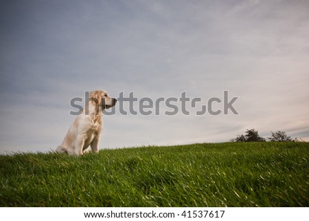 Young Golden Retriever is sitting on a green hill