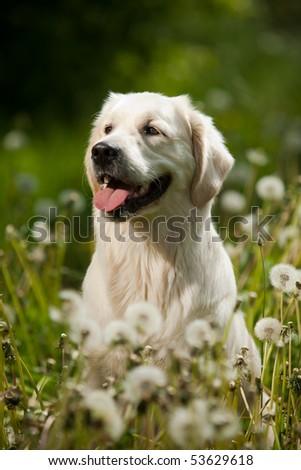 Young Golden Retriever posing between dandelions