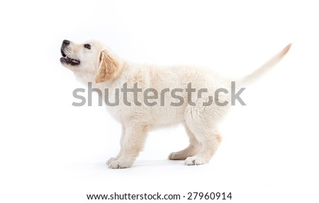 Young golden retriever puppy isolated waiting for something - stock photo