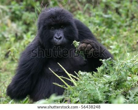 young gorilla at volcanoes national park, rwanda