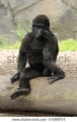 Young gorilla looking mischievious