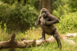 Young gorilla playful beating his chest during a warm and comfortable summerday