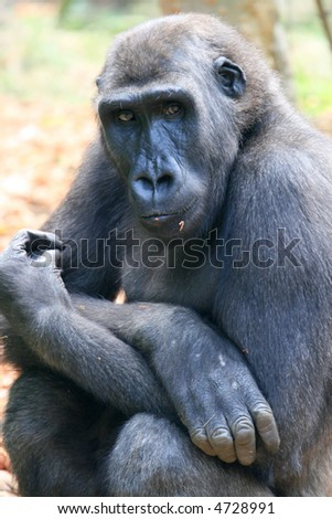 young gorilla with his arms crossed on his knees - stock photo