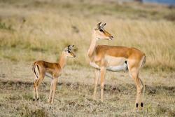 Young Grant's Gazelle and mother, Maasai Mara National Reserve, Kenya