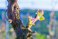 Young grape leaves on old vine trunk in the vineyard spring blurred background. Green tender shoots and leaves of grapes on spring vine