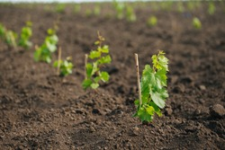Young grape seedling in a spring ground