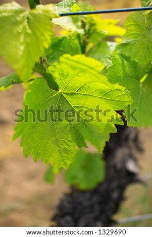 young grapes in wineyards of southen Germany region Rheinland Pfalz