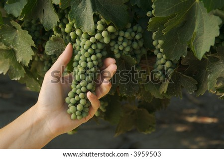 Young Grapes in Woman's Hand