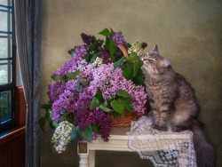 Young gray kitty sniffing of lilac