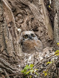 young great horned owl in the nest on the branch