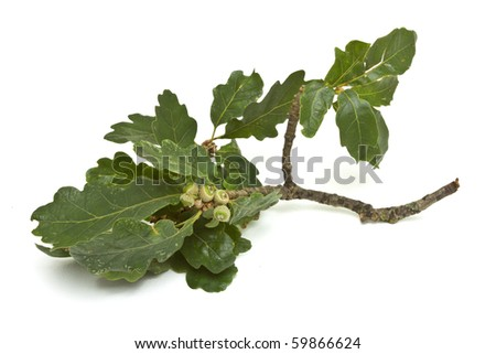 Young Green Acorns on branch with oak leaf.