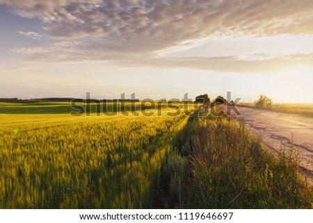 Young green barley corns growing in field light at horizon. barley field at sunset. #1119646697
