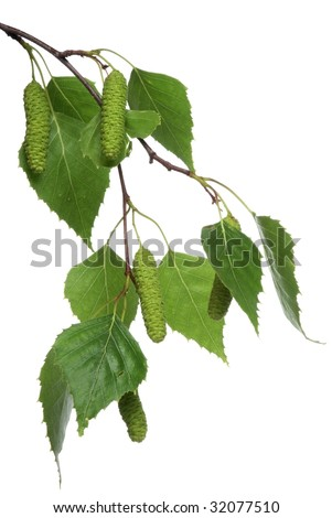 Young green branch of birch with catkins on the white background.