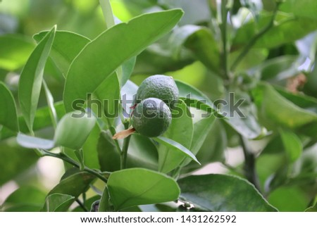 young green clementine on a clementine tree  #1431262592