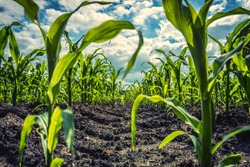 Young green corn plants on farmland - extreme low angle shot - worm's-eye view
