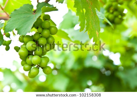 Young green grape on vine