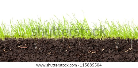 Young, green grass in cross-section in the soil.