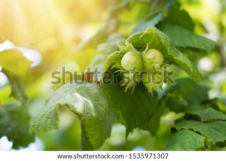 Young green hazel, hazelnut nuts, grow on a tree Foto d'archivio ©