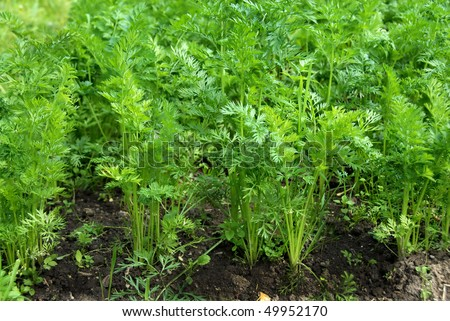 young green leaves of growing carrot in vegetable garden
