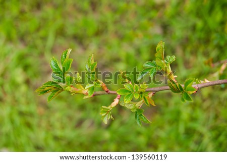 Young green leaves on a branch of wild rose on a green grass background
