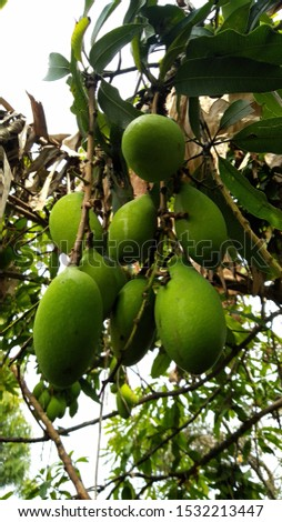young green mangoes are used as ingredients for making salad because of its sour taste.