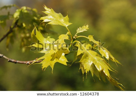 Young green maple tree leaves background