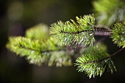 Young green Needles on spruce branch in spring coniferous forest close up. Needles of a young spruce sapling in sunny spring day. Coniferous forest. Evergreen fir tree branch. Clean environment.