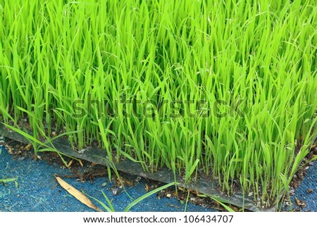 Young green paddy plant