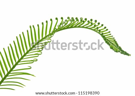 young green palm leaf isolated on white background
