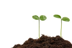 Young green plant growing in soil on white blackground. New life concept
