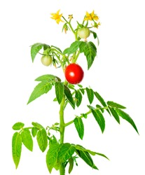 young green seedling of fresh ripe red tomatoes fruit and flowers is isolated on white background, close up