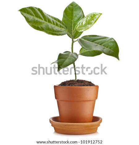 young green seedling  passiflora plant  in clay flowerpot isolated on white