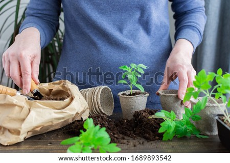 Young green seedlings of tomato in pots on a wooden background , woman transplanting seedlings, pricking out