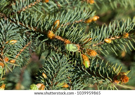 young green sprouts needles spruce during spring warming, closeup of a single tree in a forest or park