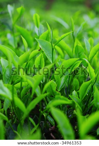 stock photo : Young green tea leaves